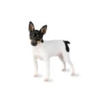 Petland Ft.Myers Toy Fox Terrier