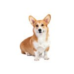 Petland Ft.Myers Pembroke Welsh Corgi