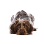 Petland Fort Myers Florida German Wirehaired Pointer