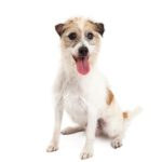Petland Fort Myers Florida Jack Russel Terrier