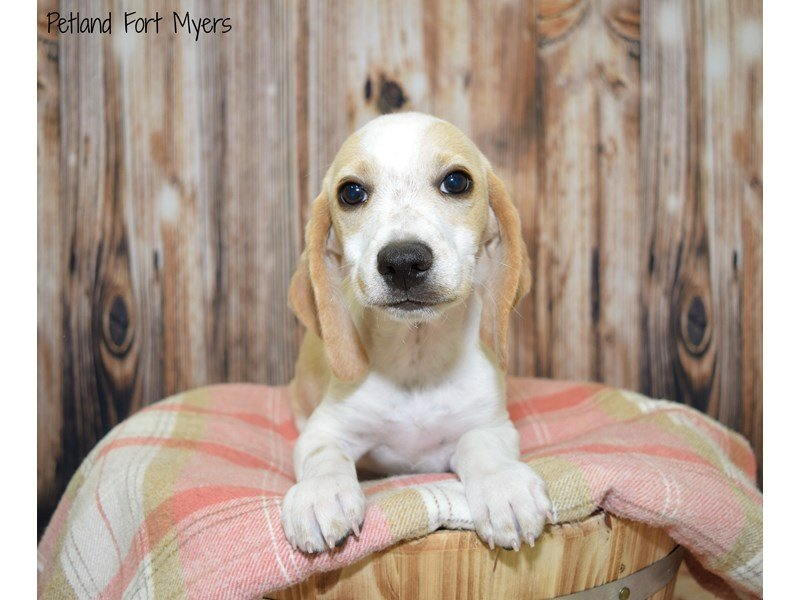 Beagle-Male-Lemon & White-2512851-Petland Fort Myers Florida