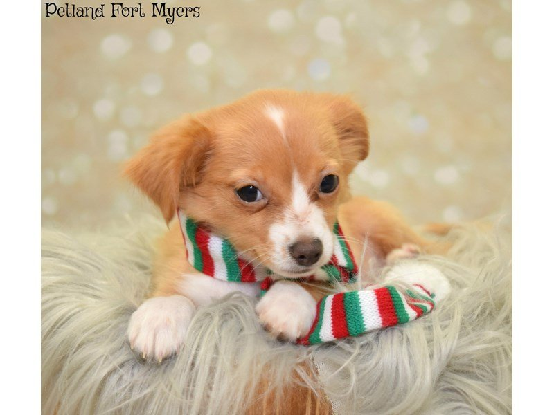 Puppy Photo Gallery Visit Petland In Fort Myers Lee