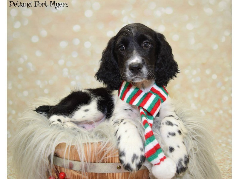 English Springer Spaniel-Male-Black & White-2550060-Petland Fort Myers Florida