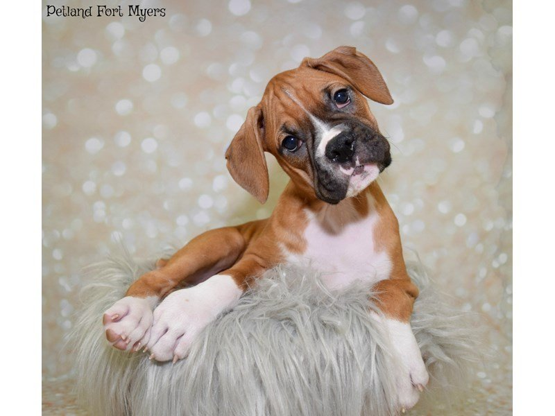 Boxer-Male-Fawn & White-2550153-Petland Fort Myers Florida