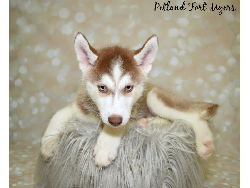 Siberian Husky-Male-Red & White-2591188-Petland Fort Myers Florida