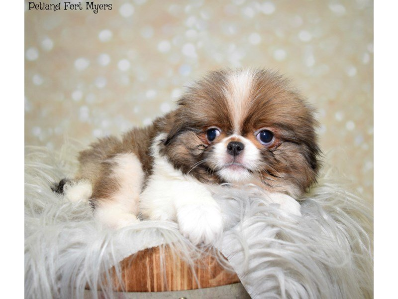 Japanese Chin-Male-Sable & White-2549896-Petland Fort Myers Florida