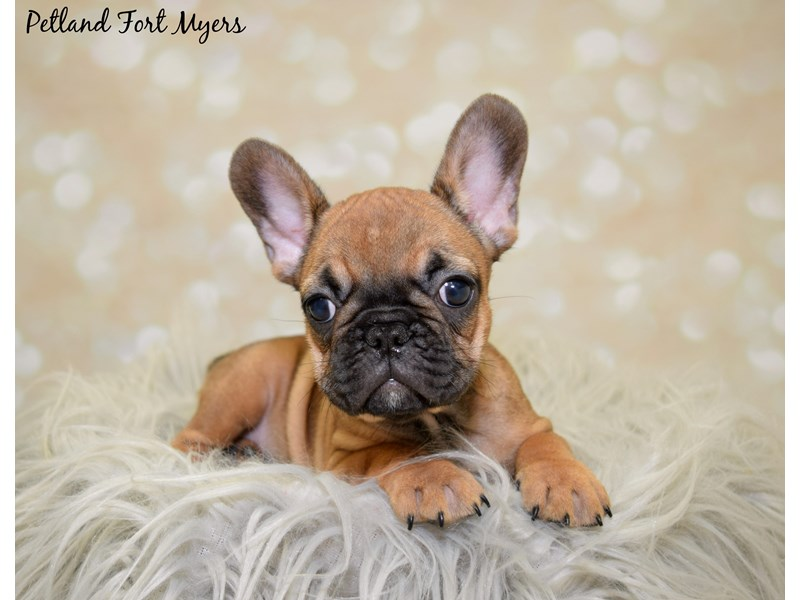 French Bulldog-Female-Red-2591498-Petland Fort Myers Florida