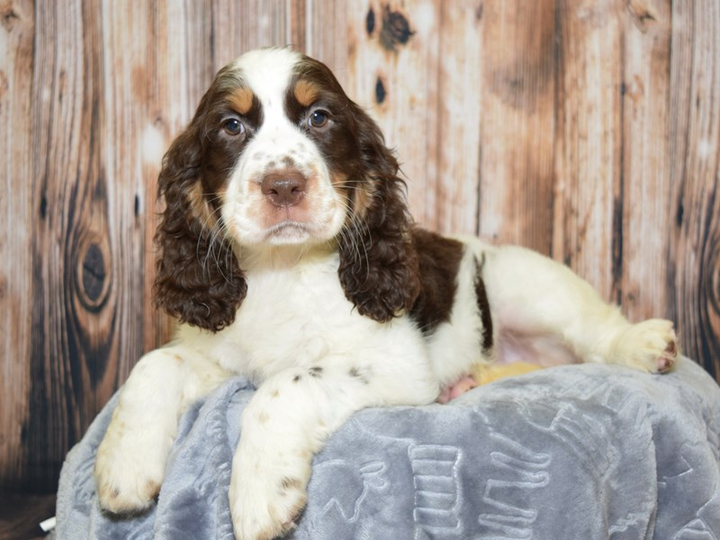 English Springer Spaniel-Female-Brown & White-2621917-Petland Fort Myers Florida