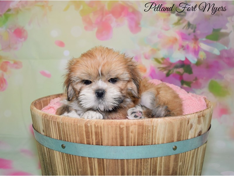 Lhasa Apso-Female-Red Gold-2628398-Petland Fort Myers Florida