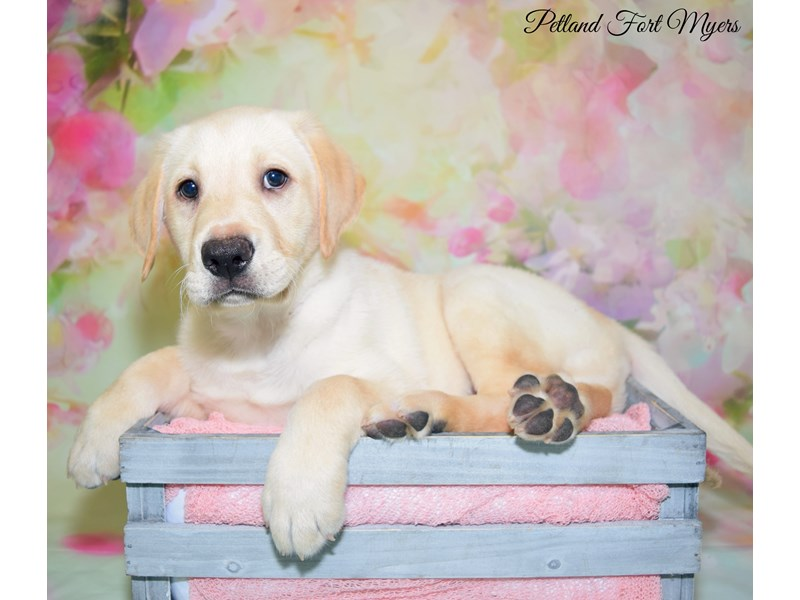 Labrador Retriever-Male-Yellow-2657935-Petland Fort Myers Florida