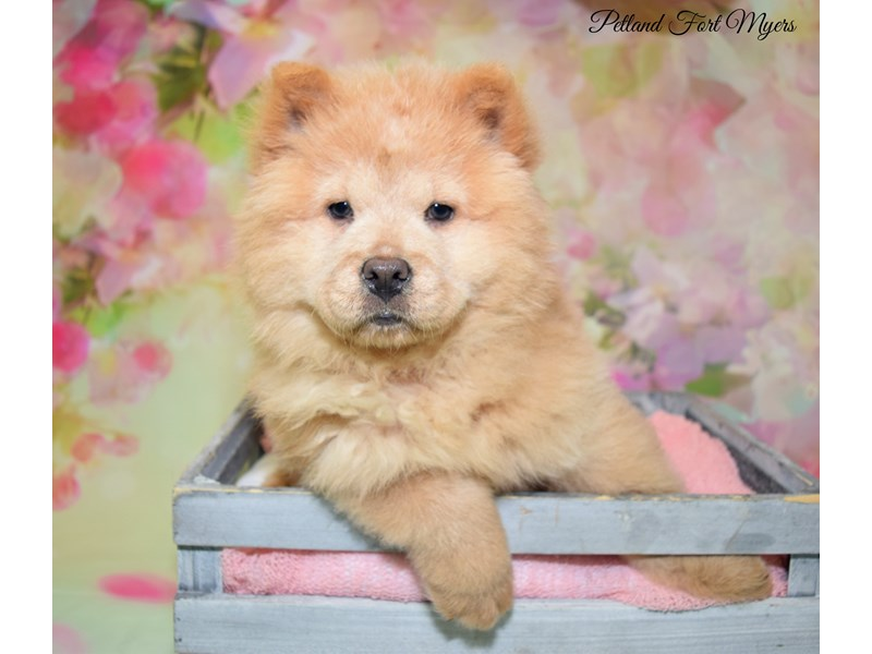 Chow Chow-Female-Light Red-2683105-Petland Fort Myers Florida