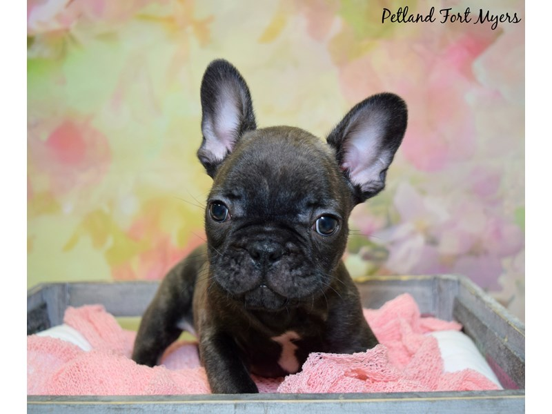 French Bulldog-Male-Brindle-2717093-Petland Fort Myers Florida