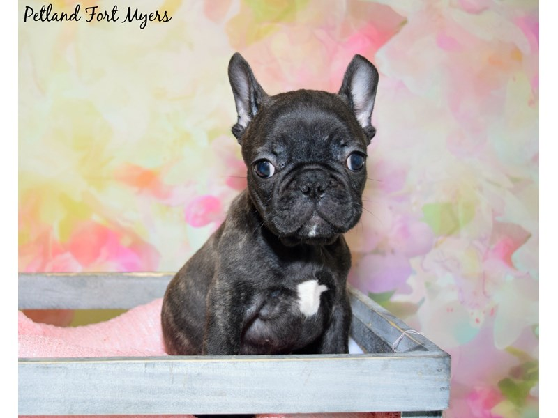 French Bulldog-Male-Brindle-2723836-Petland Fort Myers Florida