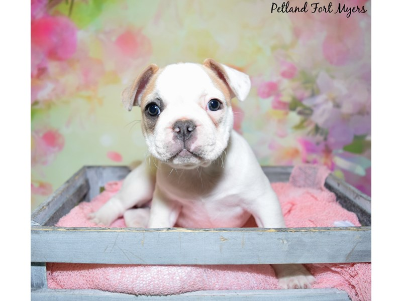 French Bulldog-Female-Blue Fawn Piebald-2736958-Petland Fort Myers Florida