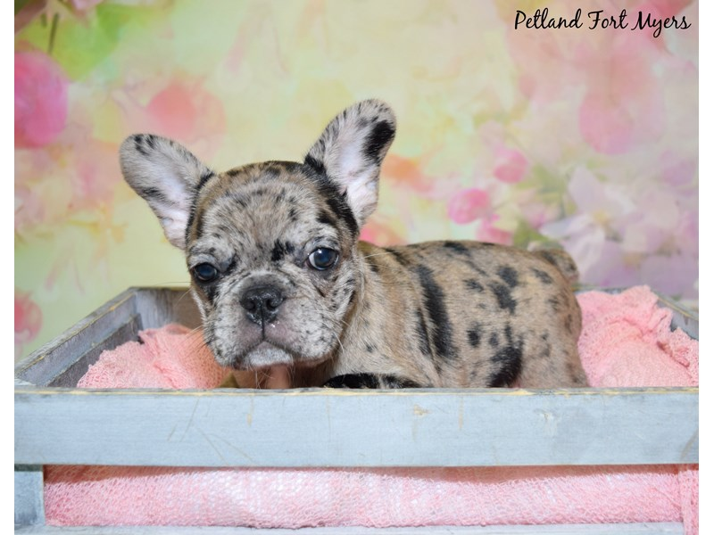 French Bulldog-Female-Merle-2752336-Petland Fort Myers Florida