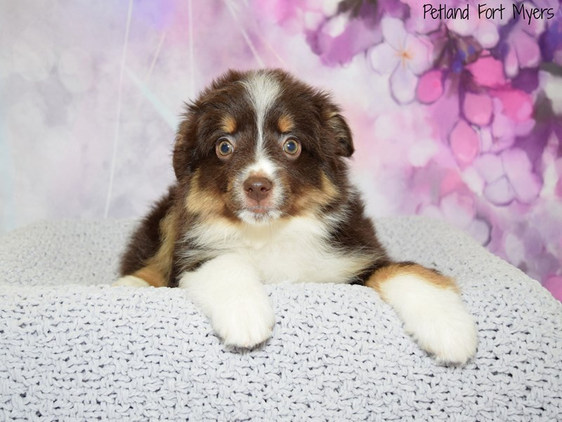 Australian Shepherd Puppies Petland Fort Myers Florida