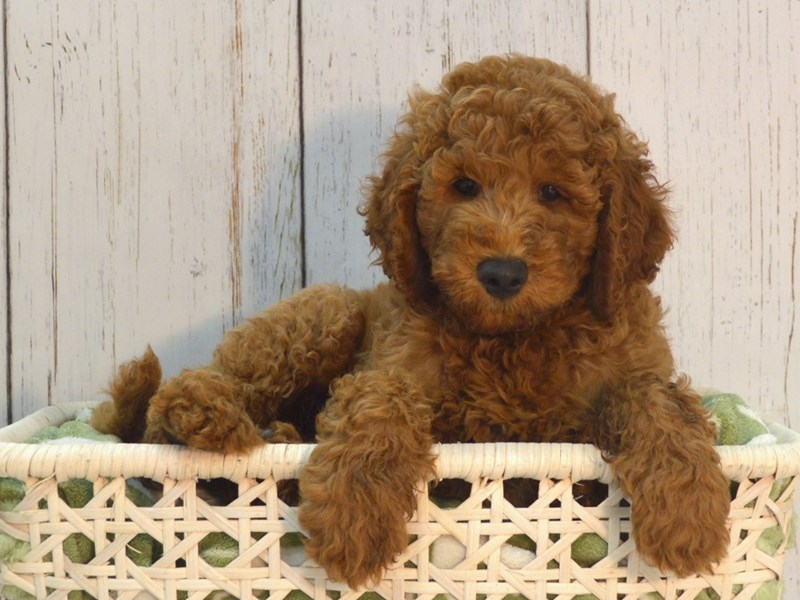 Goldendoodle-Male-Red-3048962-Petland Fort Myers Florida