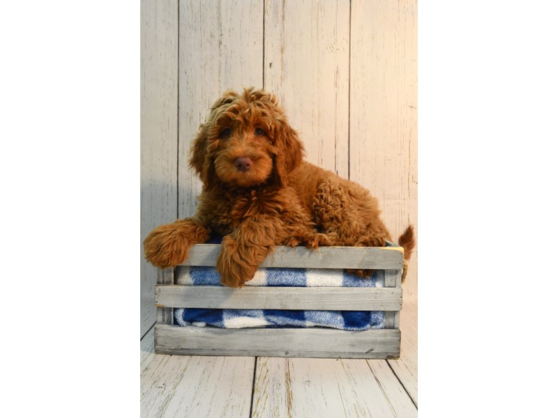 Labradoodle-Male-Red-3087690-Petland Fort Myers Florida