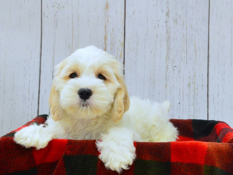 Cockapoo-Male-Gold & White-3009866-Petland Fort Myers Florida