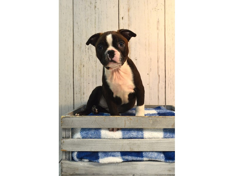 Boston Terrier-Male-BLK WH-3087705-Petland Fort Myers Florida