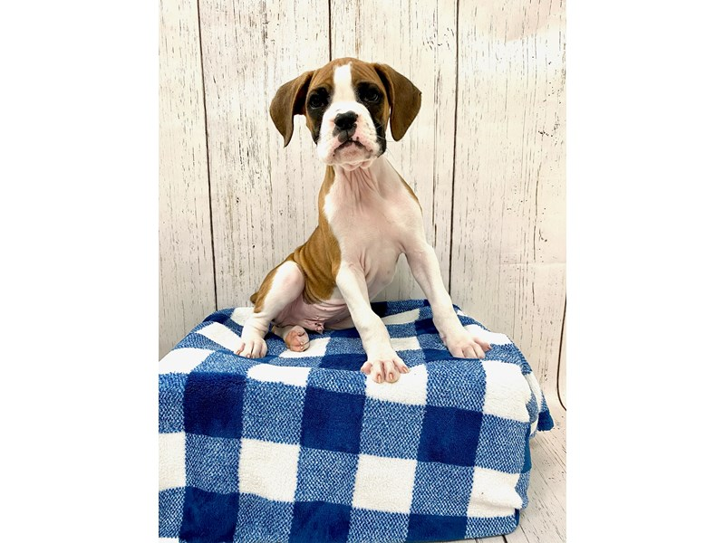 Boxer-DOG-Male-Fawn & White-3166387-Petland Fort Myers Florida
