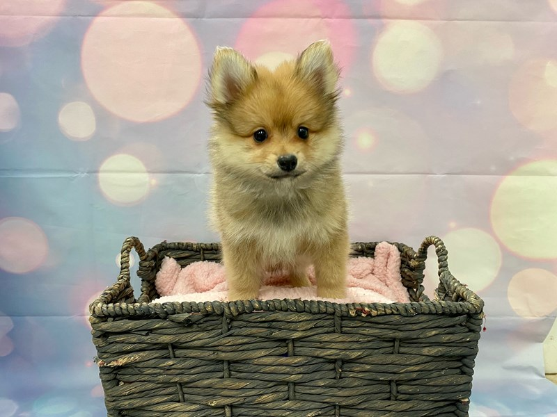 Pomeranian-Male-Red Sable-3231974-Petland Fort Myers Florida