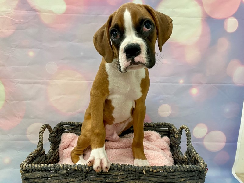 Boxer-Male-Fawn & White-3269953-Petland Fort Myers Florida