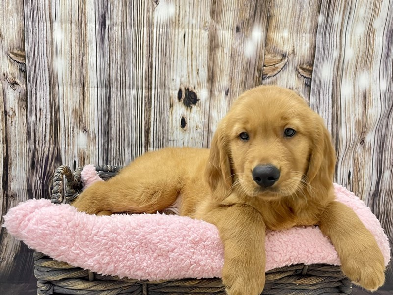 Golden Retriever-Male-Red-3297620-Petland Fort Myers Florida
