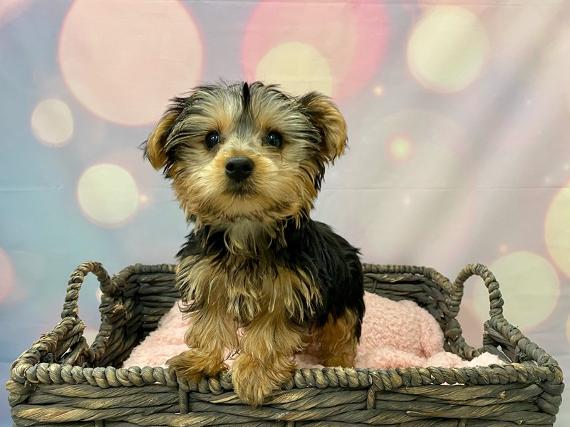 Yorkshire Terrier-Male-Blue & Tan-3288419-Petland Fort Myers Florida